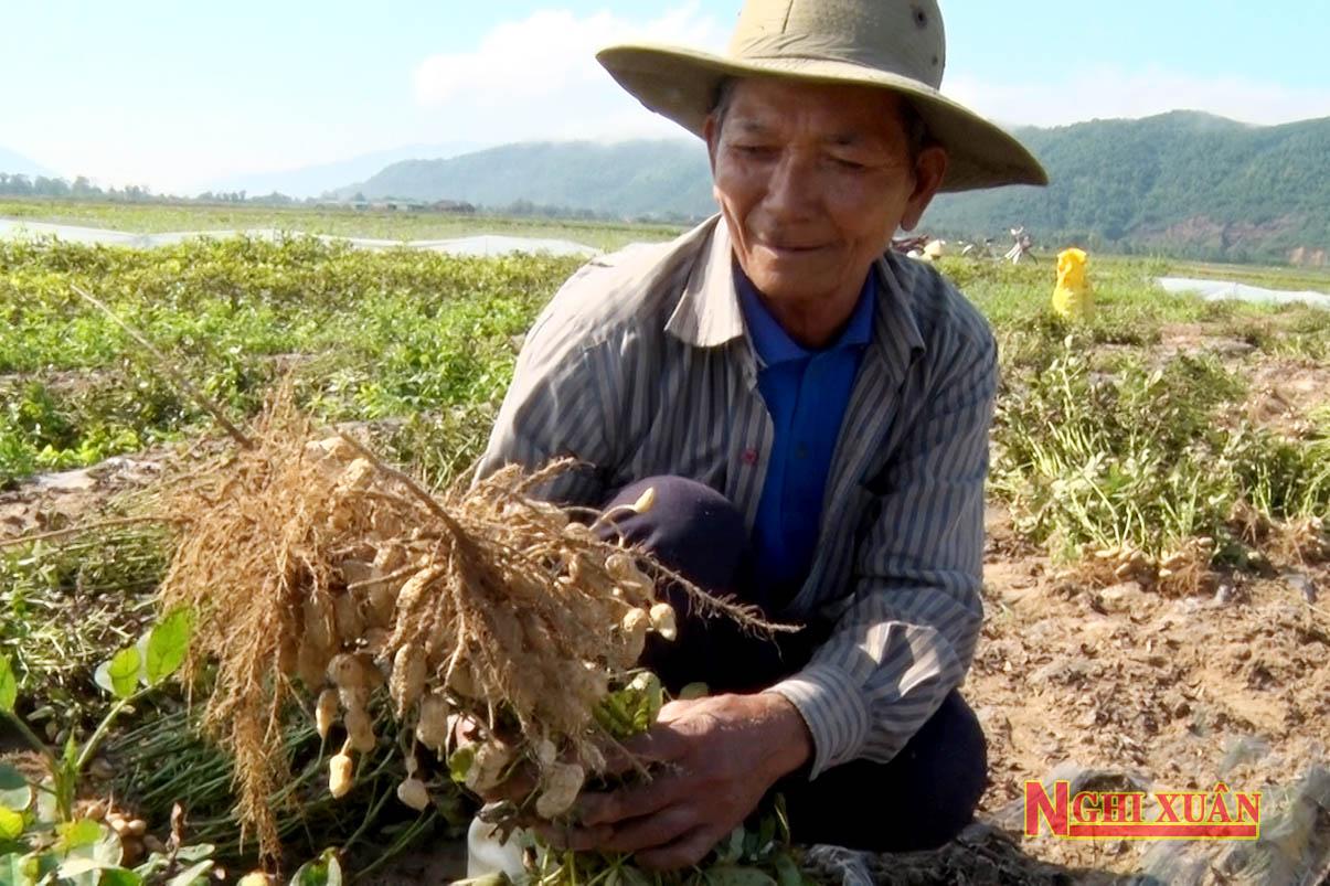 Trồng lạc trái vụ Đông giúp nông dân Xuân Viên chủ động trong nguồn giống