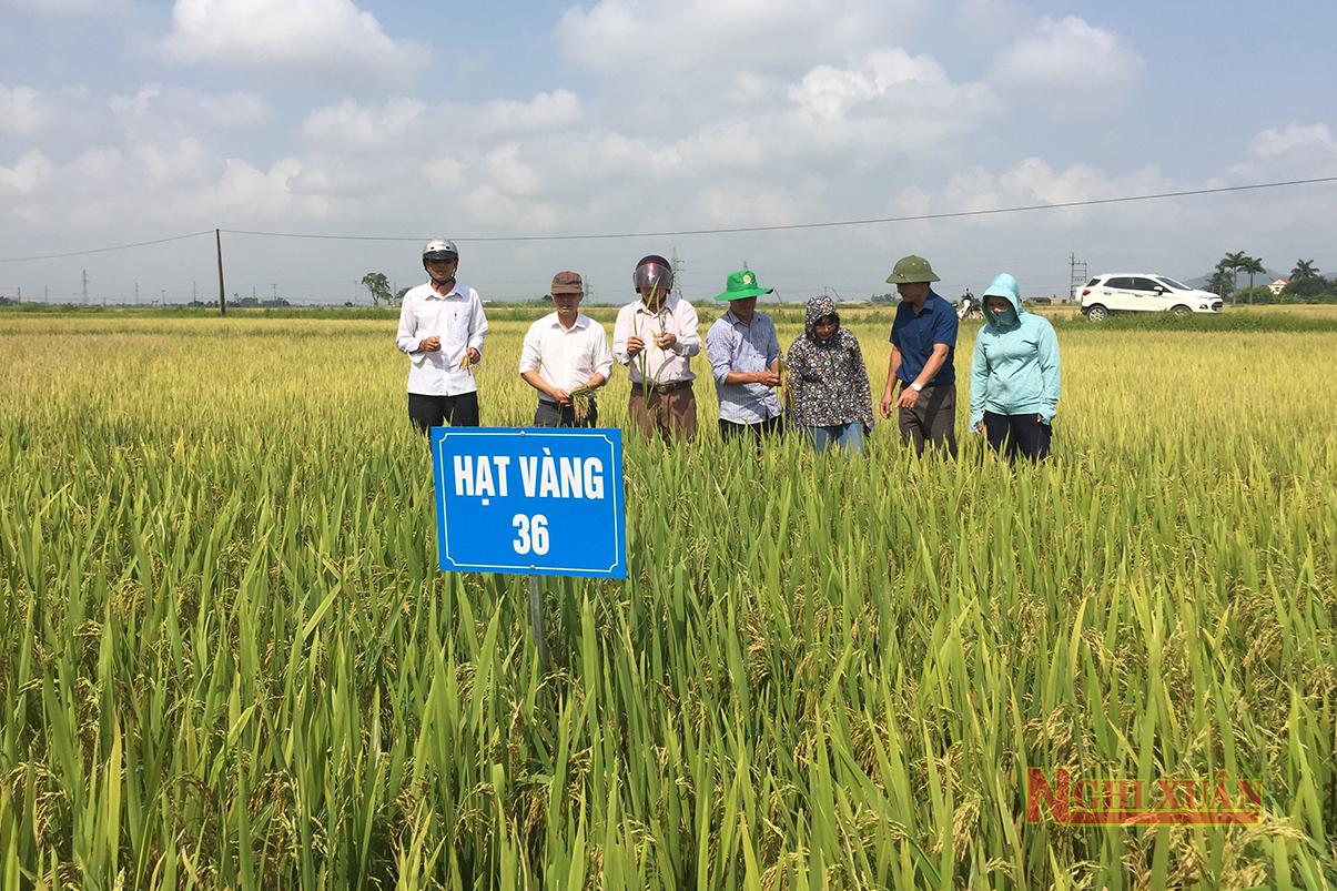 Giống lúa mới Hạt Vàng 36 có nhiều ưu điểm, cho năng suất cao tại Nghi Xuân